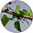 Tinosporia Cordifolia